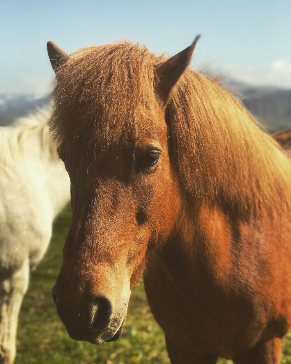 Icelandic Horses from travelling to Iceland